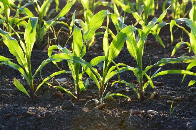 Kukorica gyomírtása