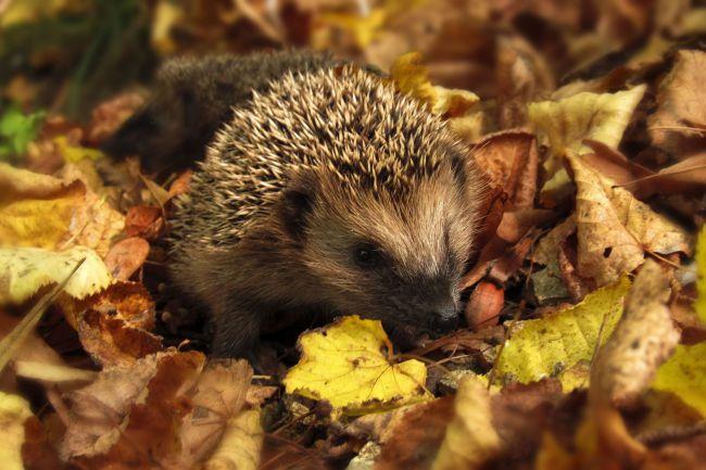 Süni az őszi avarban...