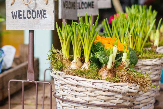 Nárcisz hagyma tavaszi ültetése
