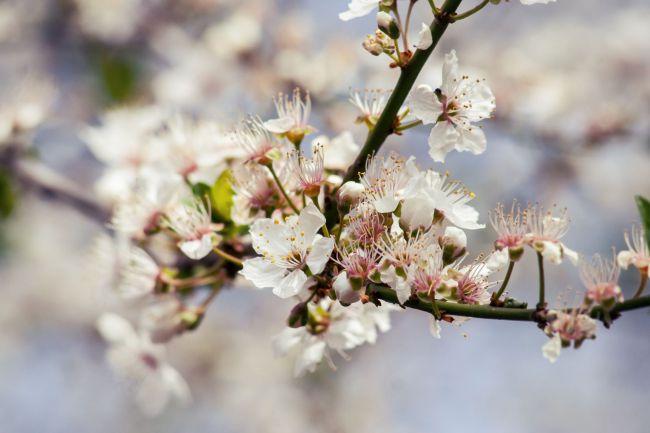 Fák tavaszi virágzása