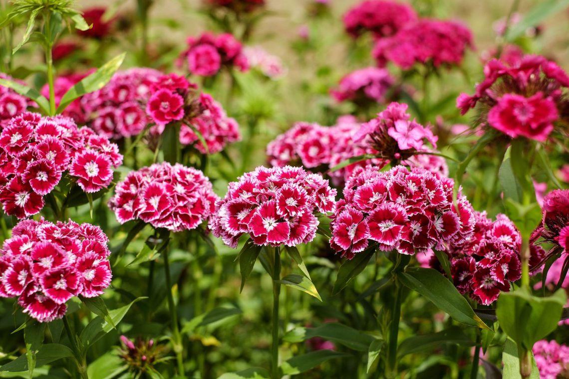 Törökszegfű (Dianthus barbatus)